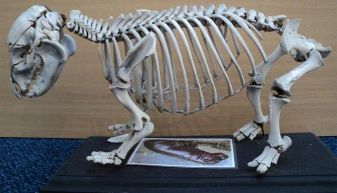 5 pigmy Hippopotamous