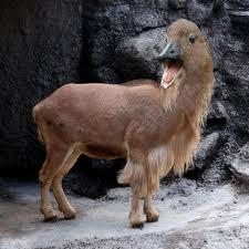 5 rare goat er bhai