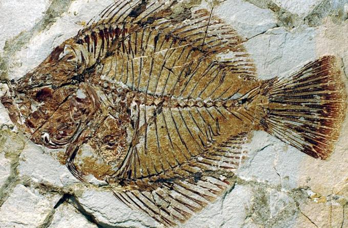 6 fossil fish
