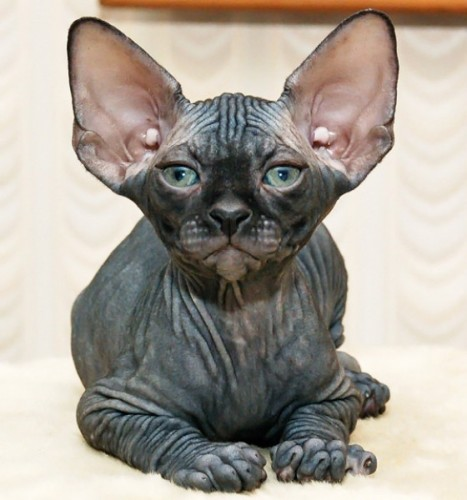 6 hairless cat