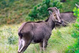 6 ibex