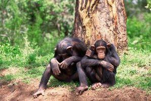 6 pair of apes