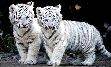 6 rare pair of white tigers