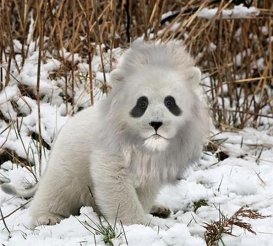 6 rare white lion