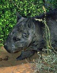 6 rare wombat