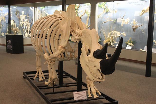 6 Rhino skeleton