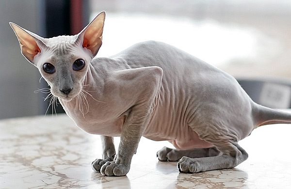 7 hairless cat