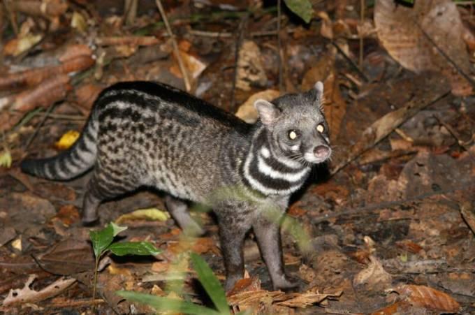 7 Malabar_Large-spotted_Civet