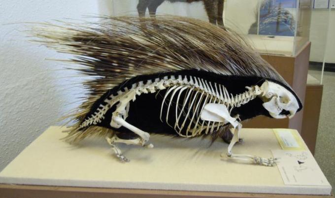 7 porcupine skeleton