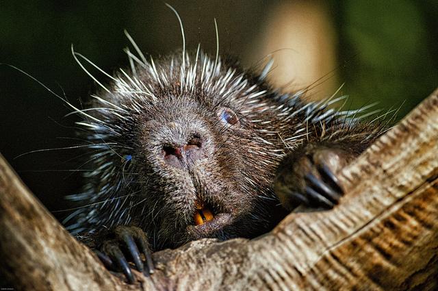 7 porcupine surprise