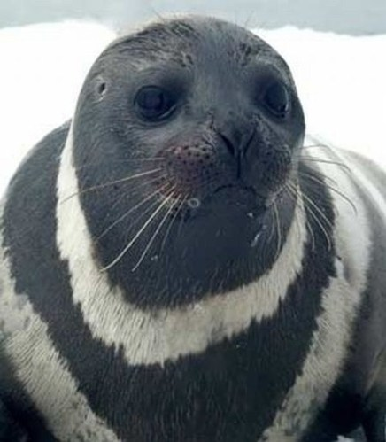 7 rare seal