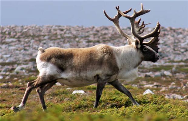 8 antilope