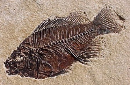 8 fossil fish