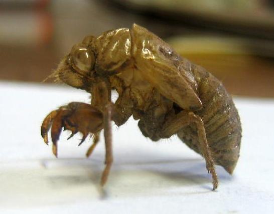 8 Hemiptera bed bug