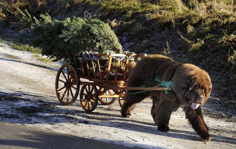 8 rare bear pulling a cart