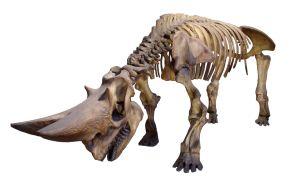 8 rhino-skeleton