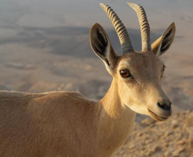 9 Capra ibex