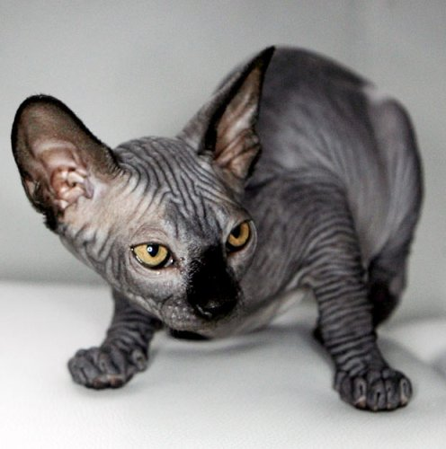 9 hairless cat