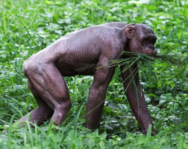 9 hairless chimp