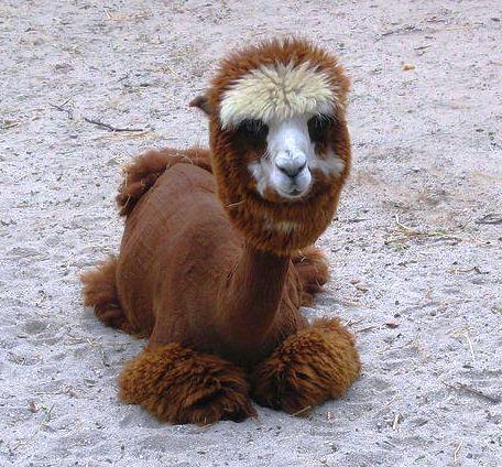 9 rare camel er bhai