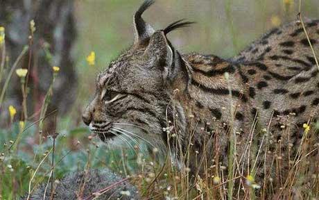 9 rare spanish-lynx