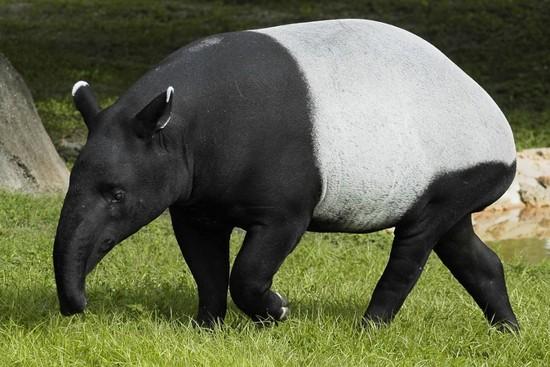 9 rare tepir or tapir
