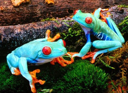 blue green frog with red eyes