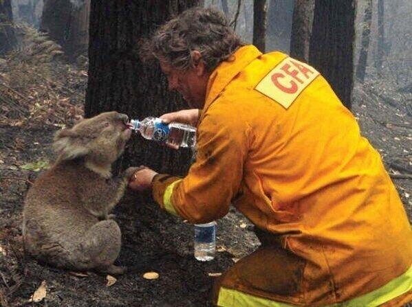 Fireman giving drink to a baby Koala in Australia fires