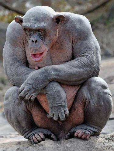 Hairless Chimp Chimpanzee