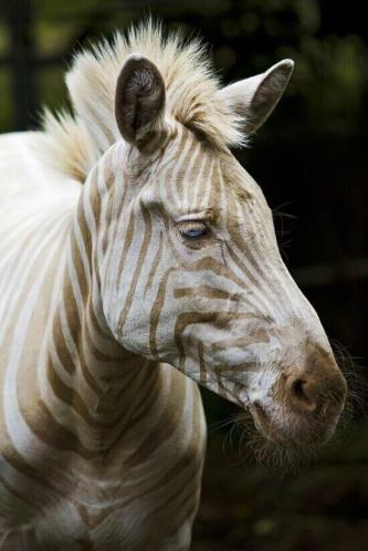 Horse Zebra cross