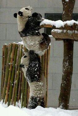 Pandas co=operating