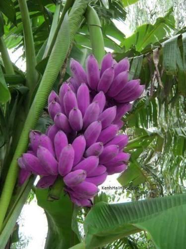 Pink banana Dhinchik dhingdhin