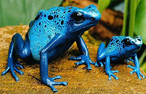 poison dart blue frog