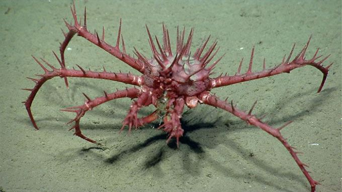 porcupine crab (Neolithodes grimaldii) Atlantic ocean sea bed