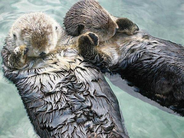 Sea otters hold hands while they sleep