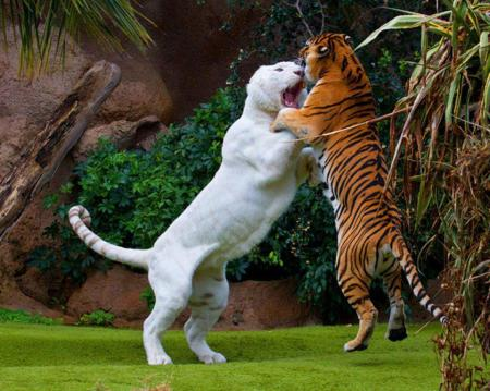 Tiger fighting Liger