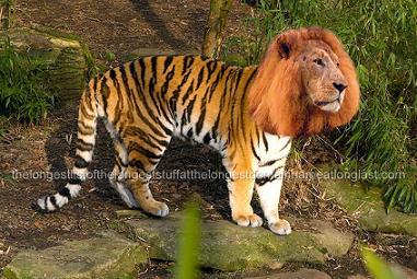 Tigon Liger 2