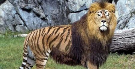 Tigon Liger 4 with mane
