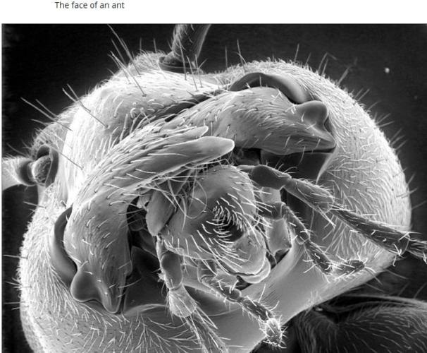 Face of an Ant