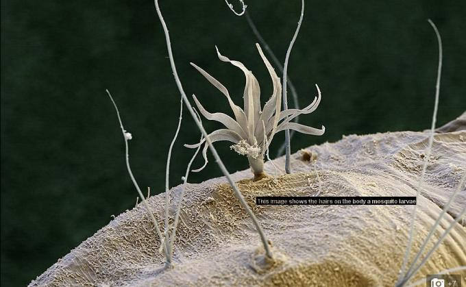 hair on larva of a mosquito