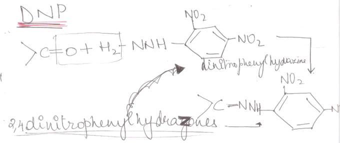 1 DNP 2,4 dinitrophenylhydrazones