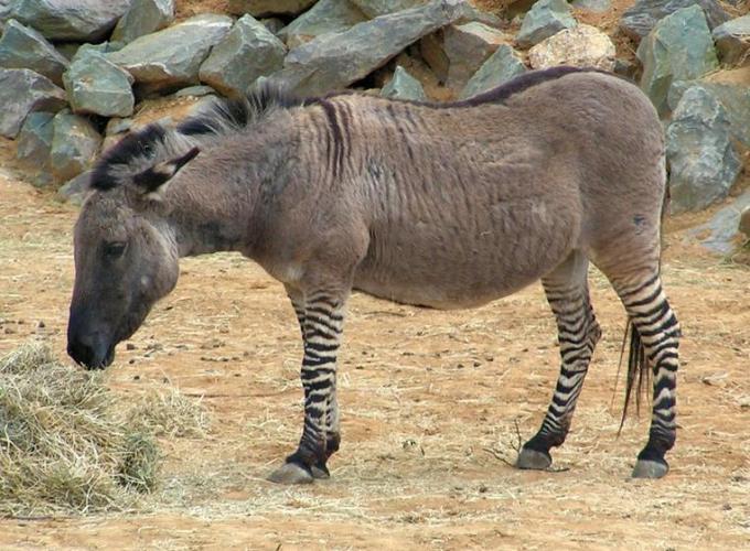 1 Zonkey Zebra Donkey