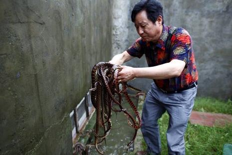 12 Smart chinese are farming snake