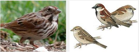 13 Sparrow in Hindi is known as Gauraiya