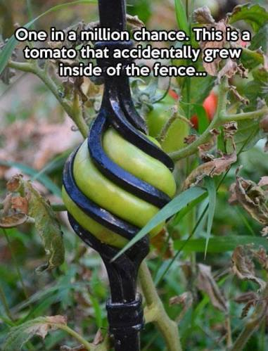 18 Tomato grown inside the fence