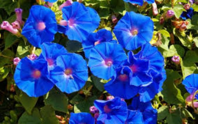2 Beutiful Blue flower