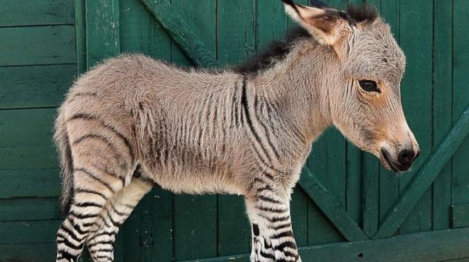 2 Zonkey Zebra Donkey