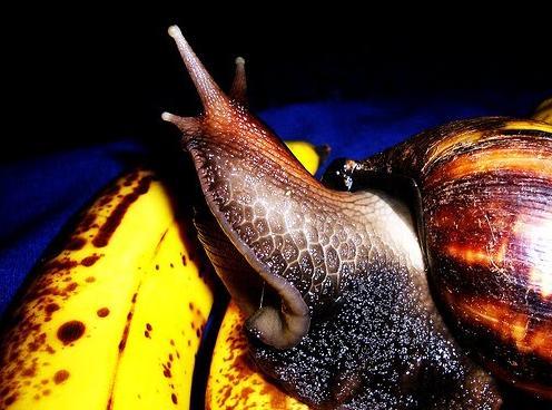 3 Snail crawling on banana