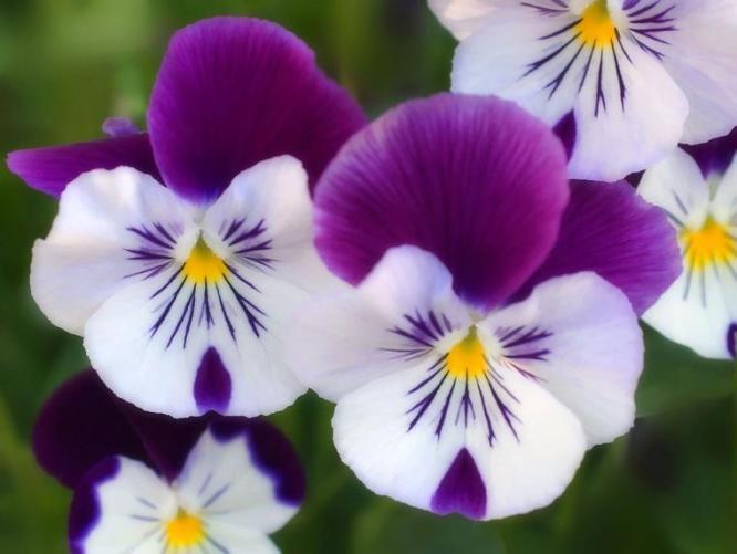 3 Violet white flower