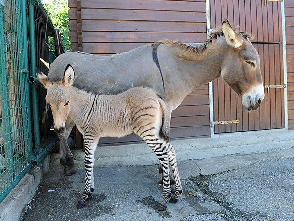 3 Zonkey Zebra Donkey